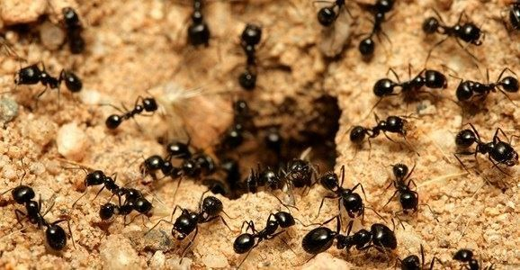 DO YOU SUFFER FROM FREQUENT ALLERGIES? THE PROBLEM COULD BE ANTS